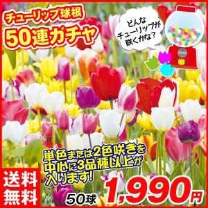 チューリップ 球根 チューリップ50連ガチャ 50球 / チュウリップ 花の球根 送料無料 国華園|kokkaen