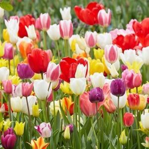 チューリップ 球根 チューリップ100連ガチャ 100球 / チュウリップ 花の球根 送料無料 国華園|kokkaen
