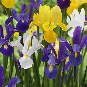 秋植え球根 ダッチアイリス3色ミックス (花色見計らい) 30球