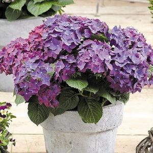 商品情報 濃い紫青色の先細りの花弁が星のようで美しい。コンパクトな樹形で、鉢植えなどにも重宝。 お届...