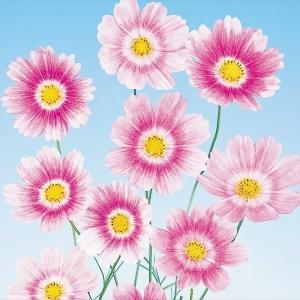 種 花たね コスモス ハッピーリング 1袋(20粒)/タネ たね