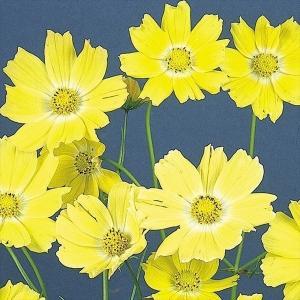 種 花たね コスモス イエロー 1袋(20粒)/タネ たね