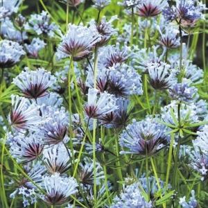 種 花たね アスペルラ 1袋(200mg)/タネ たね