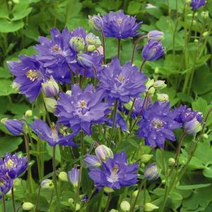 種 花たね 西洋おだまき ブルー 1袋(10粒)/タネ たね