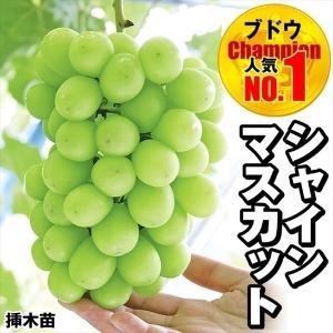 果樹苗 ブドウ シャインマスカットP 挿木苗 1株 / ぶどう 葡萄 グレープ 苗 苗木