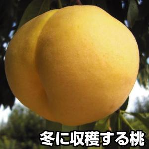 果樹苗 モモ 冬桃 3株...