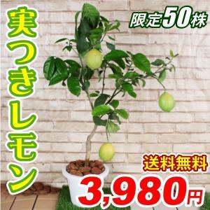 送料無料 カンキツ レモン実つき苗 1株 /檸檬 れもん 苗木 実付|kokkaen