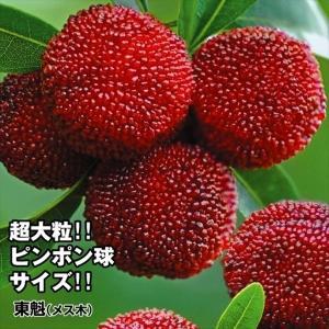 果樹苗 ヤマモモ 東魁(メス木) 1株|kokkaen