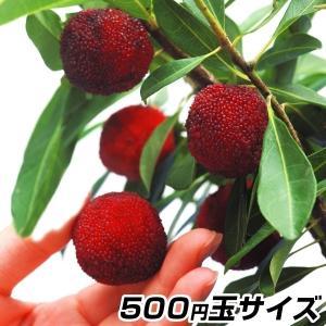 果樹苗 ヤマモモ 秀光 1株|kokkaen