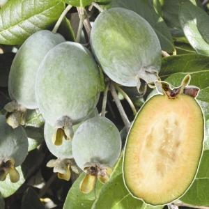 果樹苗 フェイジョア クーリッジ 1株|kokkaen