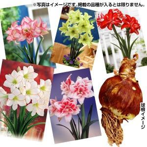 春植え球根 球根アマリリス福袋(品種見計らい・名称付) 4球 /