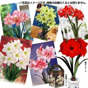 春植え球根 ポットアマリリス福袋(品種見計らい・名称付) 4箱 /