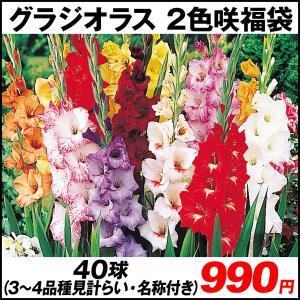 春植え球根 2色咲グラジオラス福袋 40球 (3〜4品種見計らい・名称付) kokkaen