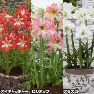春植え球根 耐寒性アマリリスBセット 3種3球(各1球) /|kokkaen