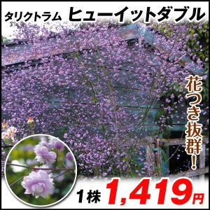 商品情報 よく分枝し、花つき抜群で、繊細な印象の小花が枝いっぱいに咲き溢れ、幻想的なイメージに。耐寒...