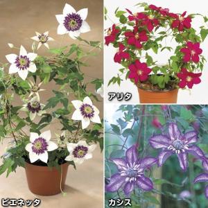 花苗 クレマチスセット 3種3株 / 花の苗 はな苗 花壇