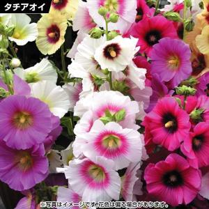 花苗 タチアオイ ハローミックス(花色無選別) 5株 / 花の苗 はな苗 花壇