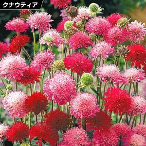 花苗 クナウティア メルトンパステルミックス 5株 / 花の苗 はな苗 花壇