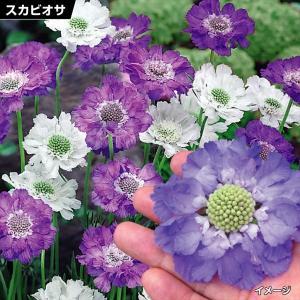 花苗 スカビオサ青・白セット 2種6株 / 花の苗 はな苗 花壇