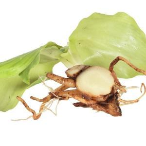 種ショウガ ケンフェリア・ガランガ(バンウコン) 2株 / 生姜 しょうが たね芋