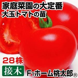 接木野菜苗 大玉トマト 接木F1ホーム桃太郎R 28株 kokkaen