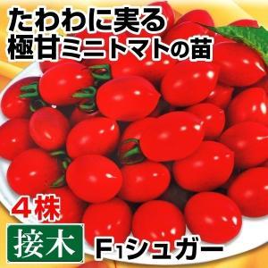 接木野菜苗 ミニトマト 接木F1シュガー 4株 kokkaen