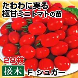 接木野菜苗 ミニトマト 接木F1シュガー 28株 kokkaen