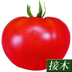 接木野菜苗 大玉トマト 接木F1サターンR 28株 kokkaen