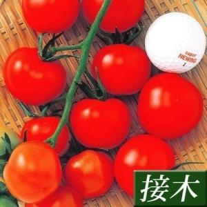 接木野菜苗 中玉トマト 接木F1中玉レッド 28株 kokkaen