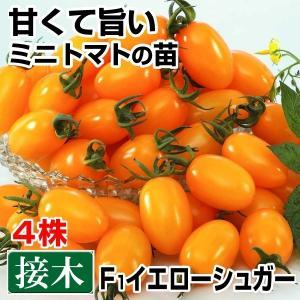 接木野菜苗 ミニトマト 接木F1イエローシュガー 4株 kokkaen