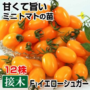 接木野菜苗 ミニトマト 接木F1イエローシュガー 12株 kokkaen