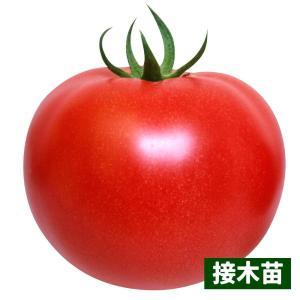 接木野菜苗 大玉トマト 接木F1こくうまパーフェクトEX 4株 / やさい 苗 家庭菜園 つぎき|kokkaen