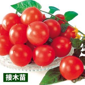 接木野菜苗 中玉トマト 接木F1甘熟むすめ 4株 / とまと 苗 夏野菜 家庭菜園|kokkaen