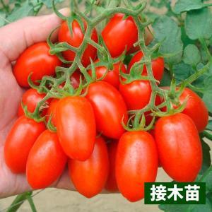 接木野菜苗 ミニトマト 接木F1豊産あま娘 4株 / やさい 苗 家庭菜園 つぎき|kokkaen