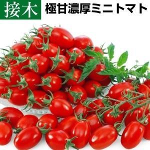 接木野菜苗 ミニトマト 接木F1クリスタルキャンディ 4株 / とまと 苗 プチトマト|kokkaen