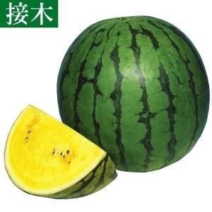 接木野菜苗 スイカ 接木F1黄肉大玉 4株 / やさい 苗 ...