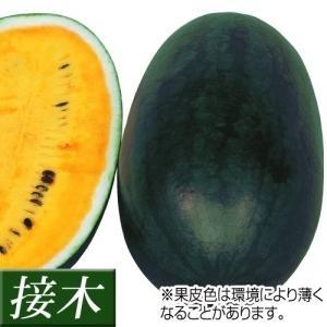 接木野菜苗 小玉スイカ 接木F1ハニークリーム 2株 / や...
