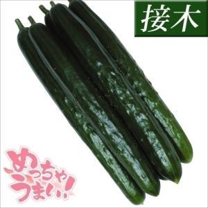 接木野菜苗 キュウリ 接木F1味まっしぐら 4株 / きゅうり 胡瓜 苗 家庭菜園|kokkaen