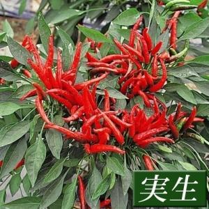 実生野菜苗 トウガラシ 鷹の爪とうがらし 12株 kokkaen