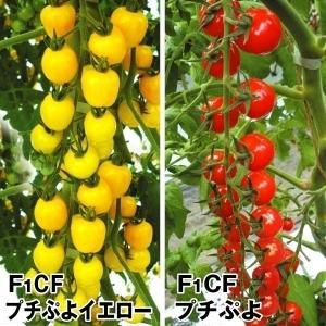 実生野菜苗 トマト 実生プチぷよセット 2種4株(各2株) / やさい 苗 家庭菜園|kokkaen