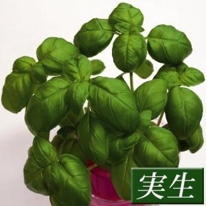 実生野菜苗 コンパニオンプランツ バジル 4株 ...の商品画像