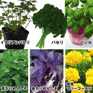 実生野菜苗 コンパニオンプランツセット 6種12株(各2株)|kokkaen