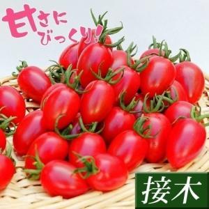 接木野菜苗 ミニトマト 接木F1サクラハニー 2株 / とまと 苗 プチトマト|kokkaen
