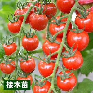 接木野菜苗 ミニトマト 接木F1CFプチぷよ 2株 / やさい 苗 家庭菜園 つぎき|kokkaen