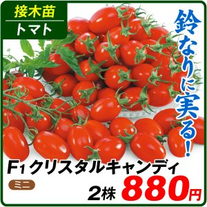 接木野菜苗 ミニトマト 接木F1クリスタルキャンディ 2株 / とまと 苗 プチトマト|kokkaen