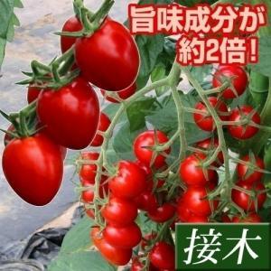 接木野菜苗 ミニトマト 接木F1アミティエ 1株 / とまと 苗 家庭菜園 プチトマト|kokkaen