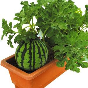 野菜たね スイカ F1ベランダすいか 1袋(8粒) / 種 ...