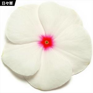 花たね 日々草 ポルカドット 1袋(20粒) / 種 タネ