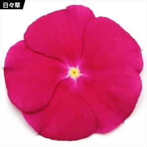 花たね 日々草 クランベリー 1袋(20粒) / 種 タネ
