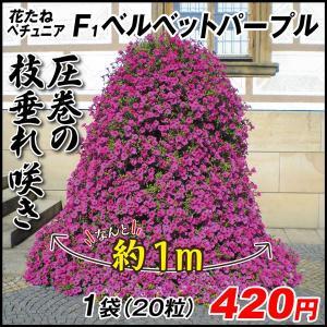 種 花たね ペチュニア F1ベルベットパープル 1袋(15粒) / タネ 種 ツクバネアサガオ 花壇...